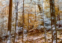 infrared photograph_tree canopies in forest